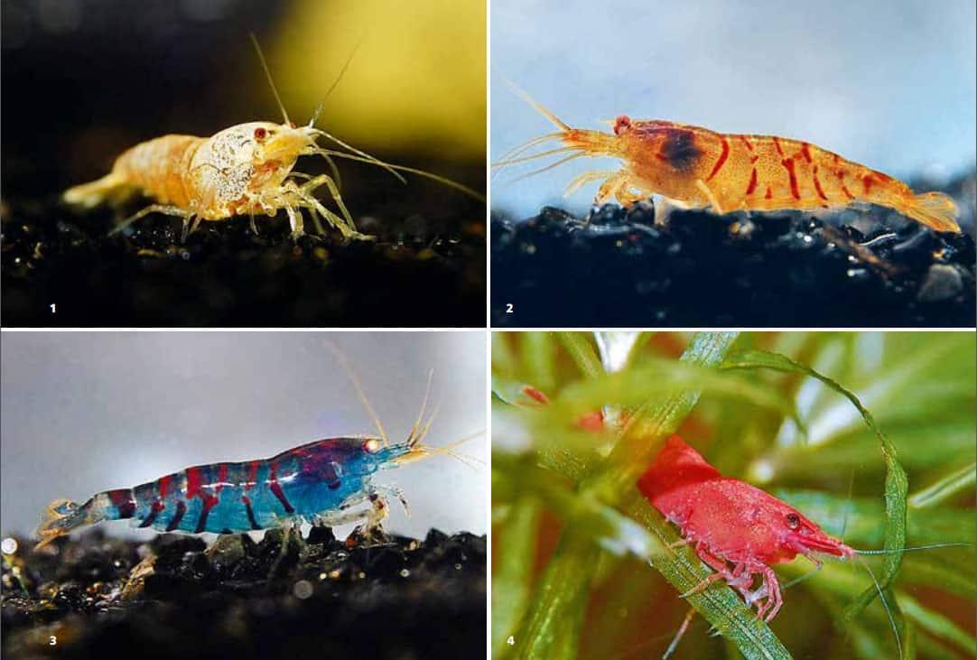 "Garnelen aus der Zucht:  1 Caridina cf. cantonensis, snow white.  2 Caridina cf. cantonensis sp.""red Tiger"";  3 Caridina cf. cantonensis sp.""blue Tiger"". 4 Neocaridina davidi var. Red Sakura;"