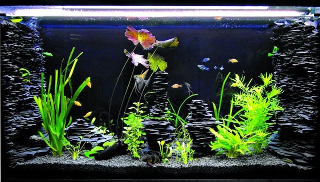 Die dunklen Schieferaufbauten bilden einen tollen Hintergrund, der die Farbe von Pflanzen und Fischen hervorhebt. Bildquelle: DATZ