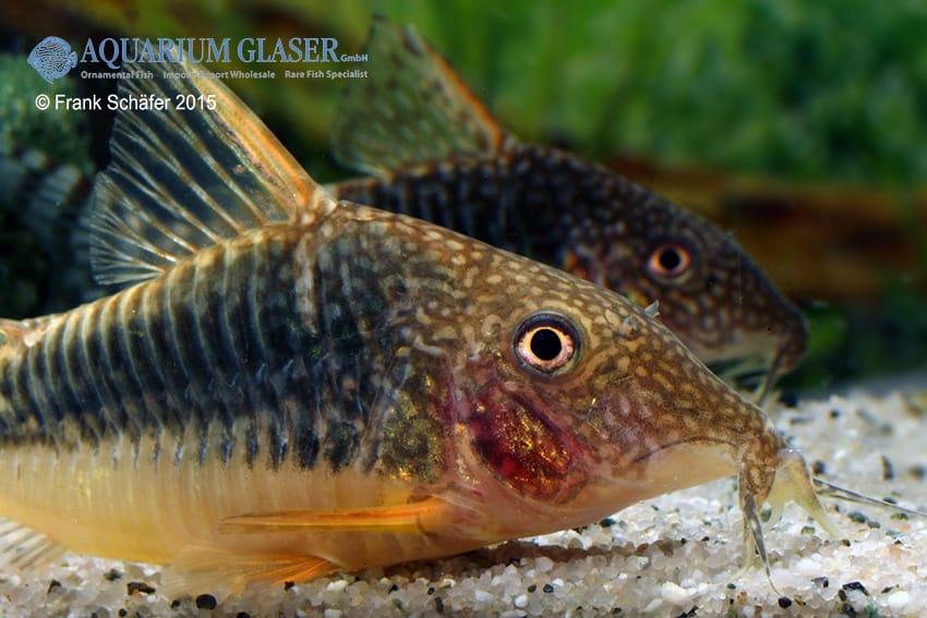 Corydoras seussi - Seuß´ Prachtpanzerwels 2
