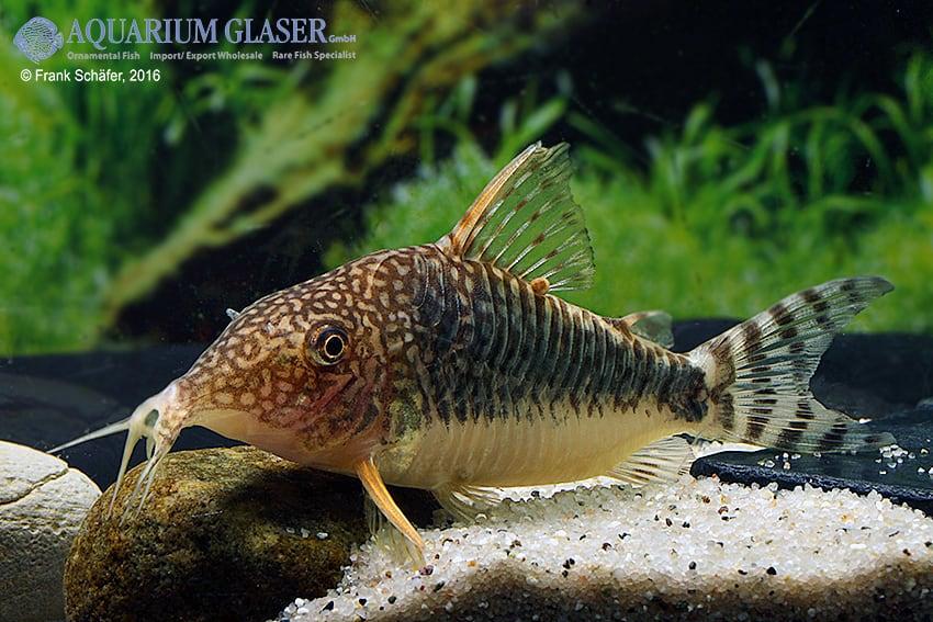 Corydoras seussi - Seuß´ Prachtpanzerwels 7