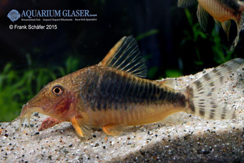 Corydoras seussi - Seuß´ Prachtpanzerwels 3