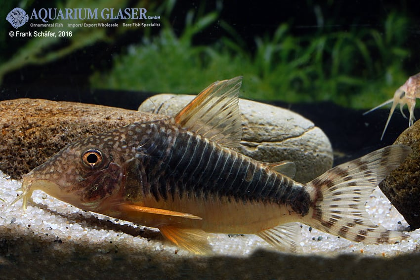 Corydoras seussi - Seuß´ Prachtpanzerwels 8