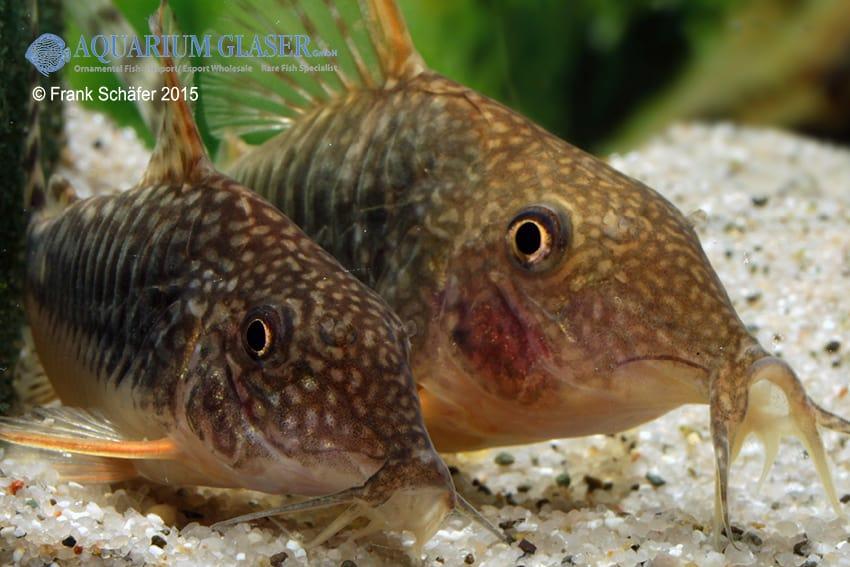 Corydoras seussi - Seuß´ Prachtpanzerwels 5