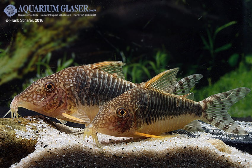 Corydoras seussi - Seuß´ Prachtpanzerwels 9