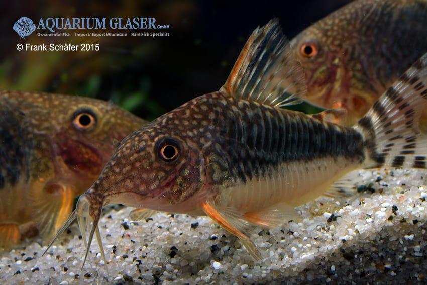 Corydoras seussi - Seuß´ Prachtpanzerwels 6