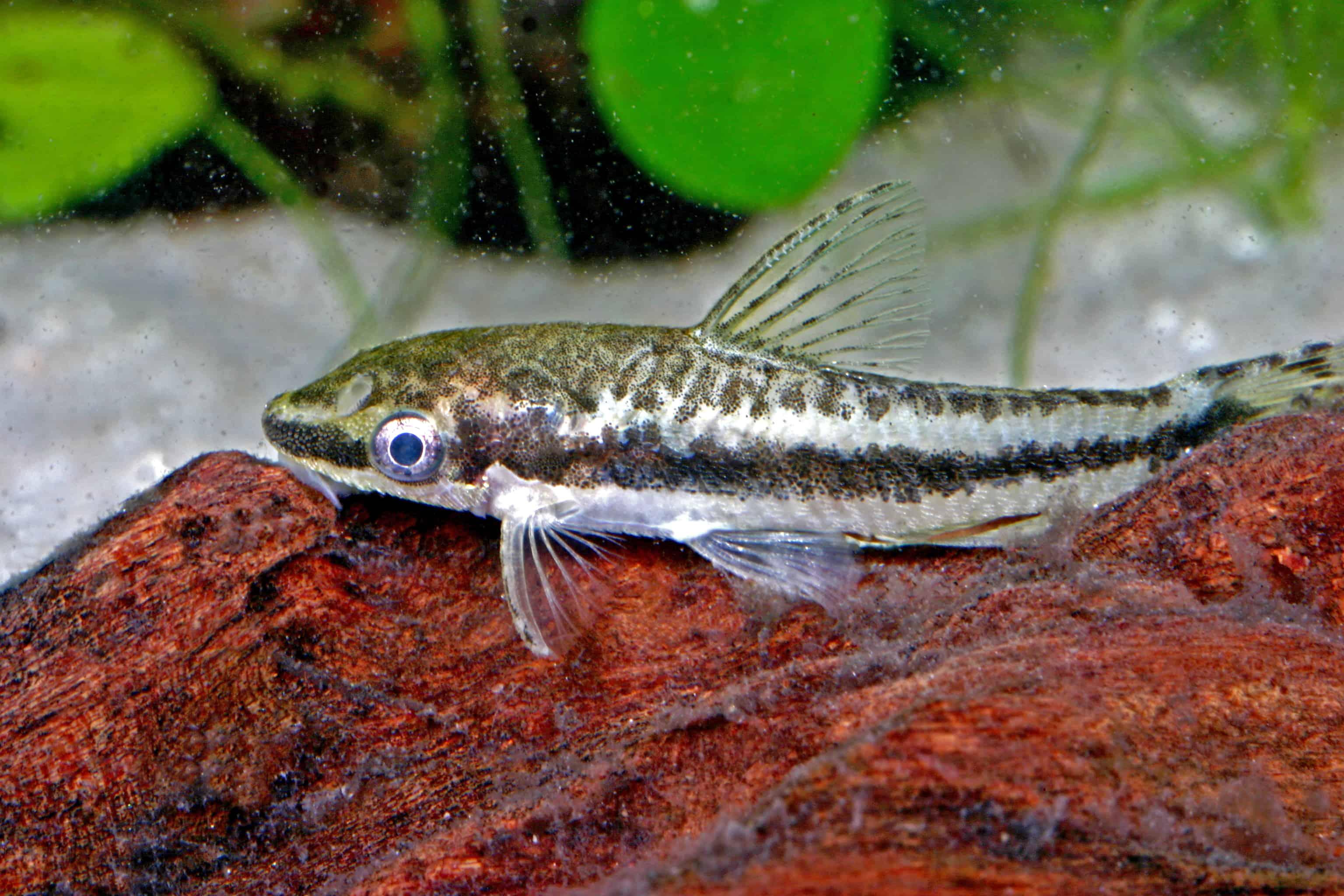 so bleibt ein aquarium algenfrei klarer blick mit kleinen helfern my fish. Black Bedroom Furniture Sets. Home Design Ideas