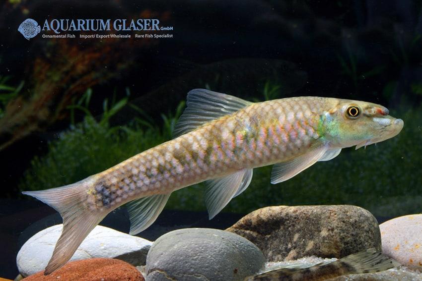 "Garra sp. ""Sunset Goldscale"" - Goldschuppen-Saugbarbe 7"
