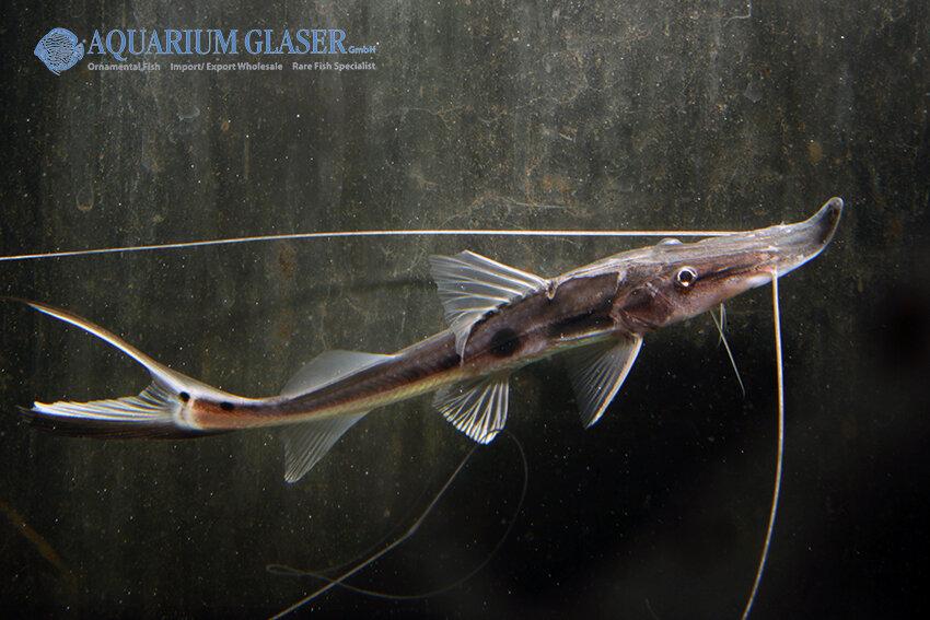 Platystomatichthys sturio - Stör-Spatelwels 5