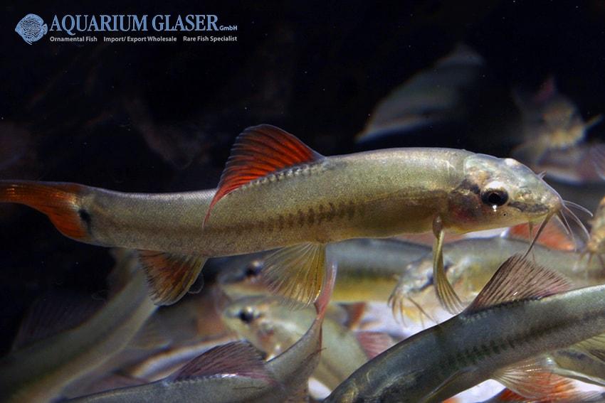 Traccatichthys taeniatus - Schöne Gebirgsbachschmerle 3