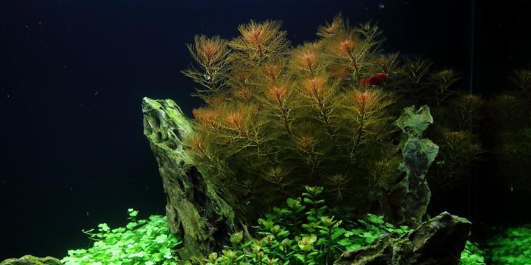 Myriophyllum tuberculatum 2