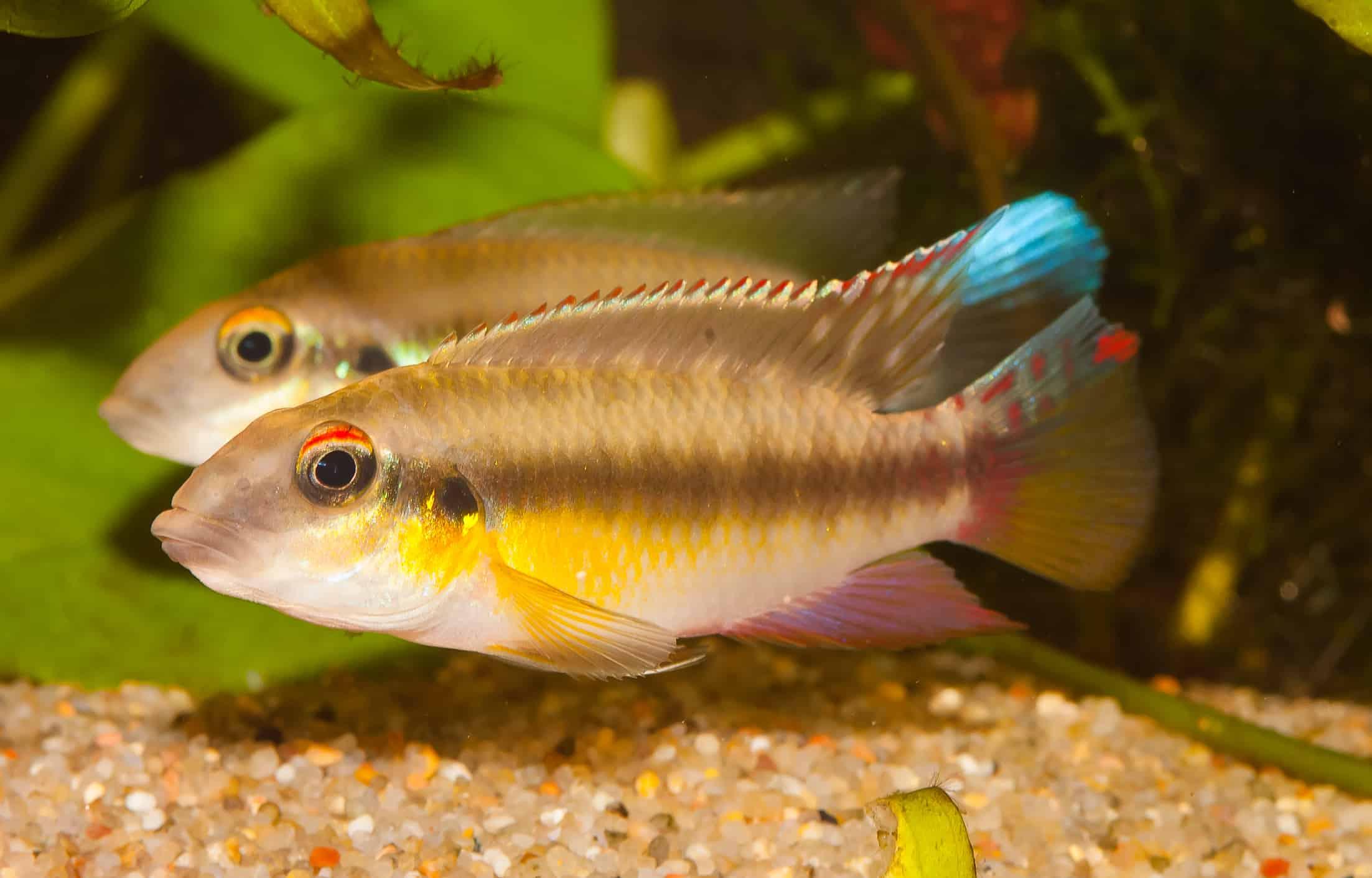 Ein größerer Vertreter der Westafrikaner, Pelvicachromis humilis