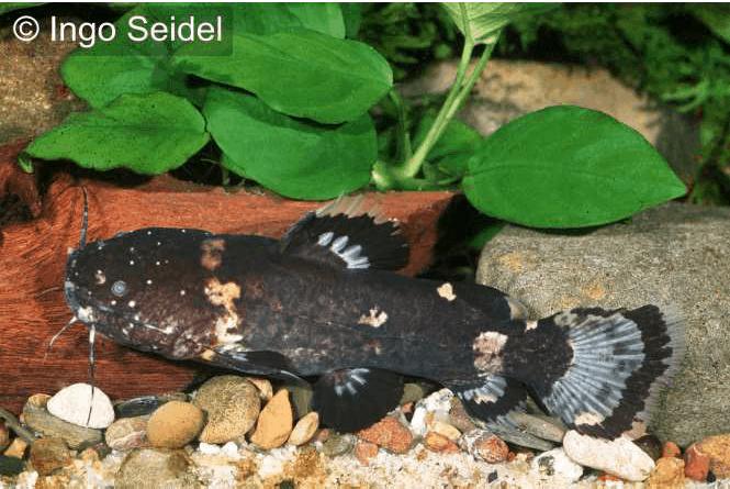 Batrochoglanis raninus - Breitmaul-Hummelwels 1