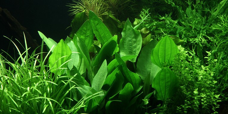Echinodorus palaefolius 1