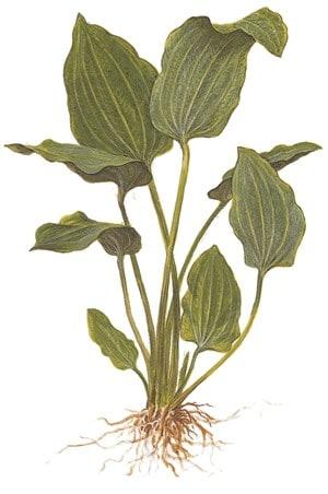 Echinodorus palaefolius 2