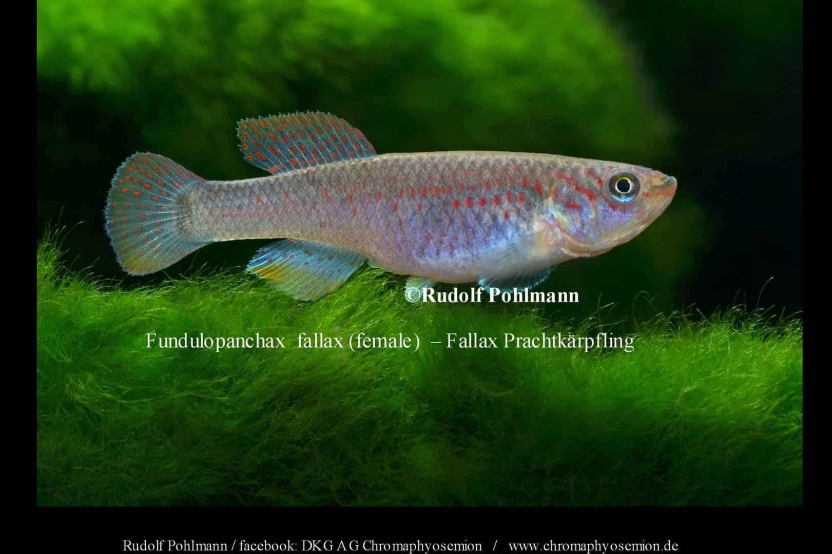 Fundulopanchax fallax – Fallax Prachtkärpfling 1