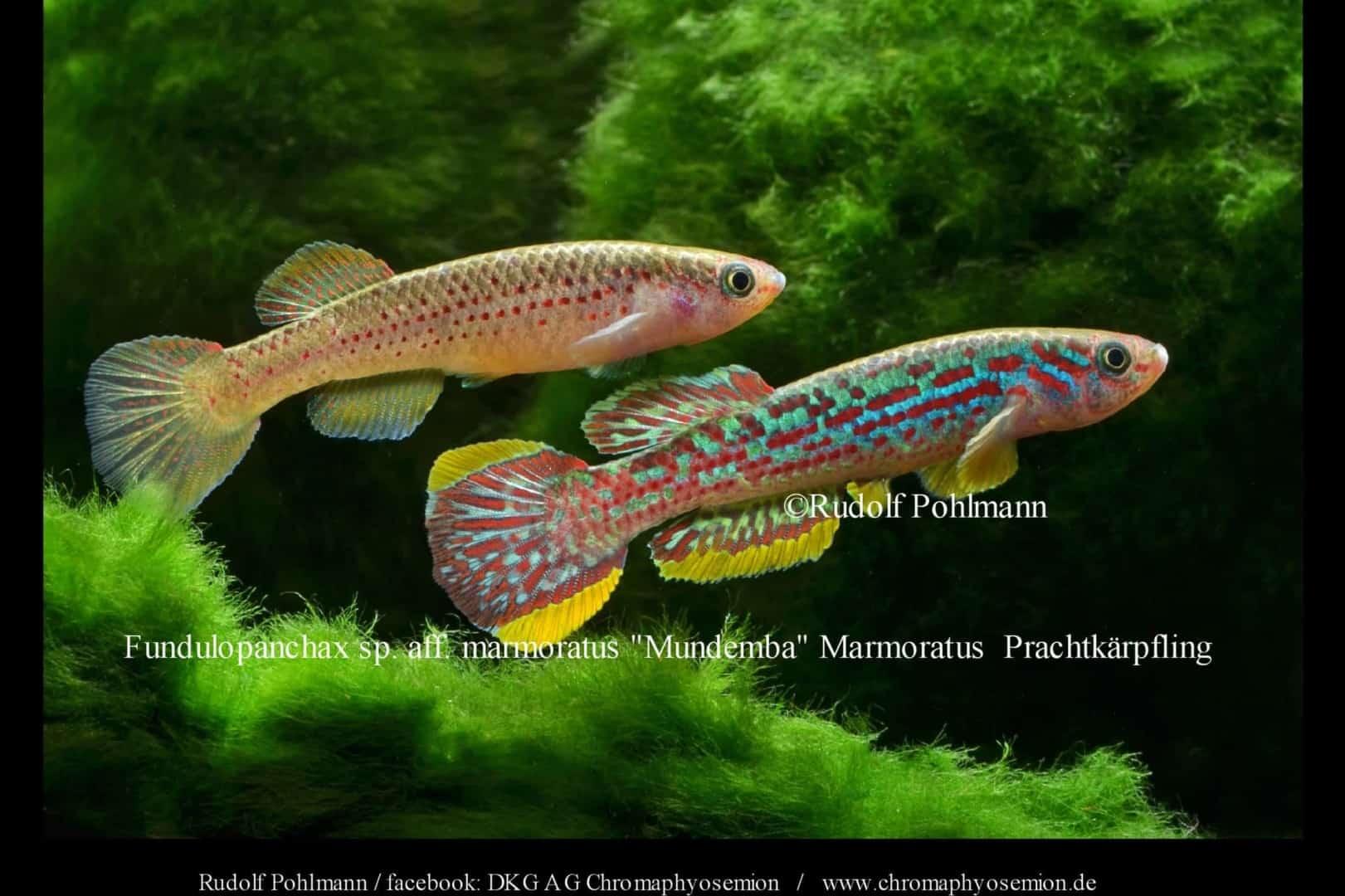 Fundulopanchax marmoratus – Marmoratus Prachtkärpfling 2