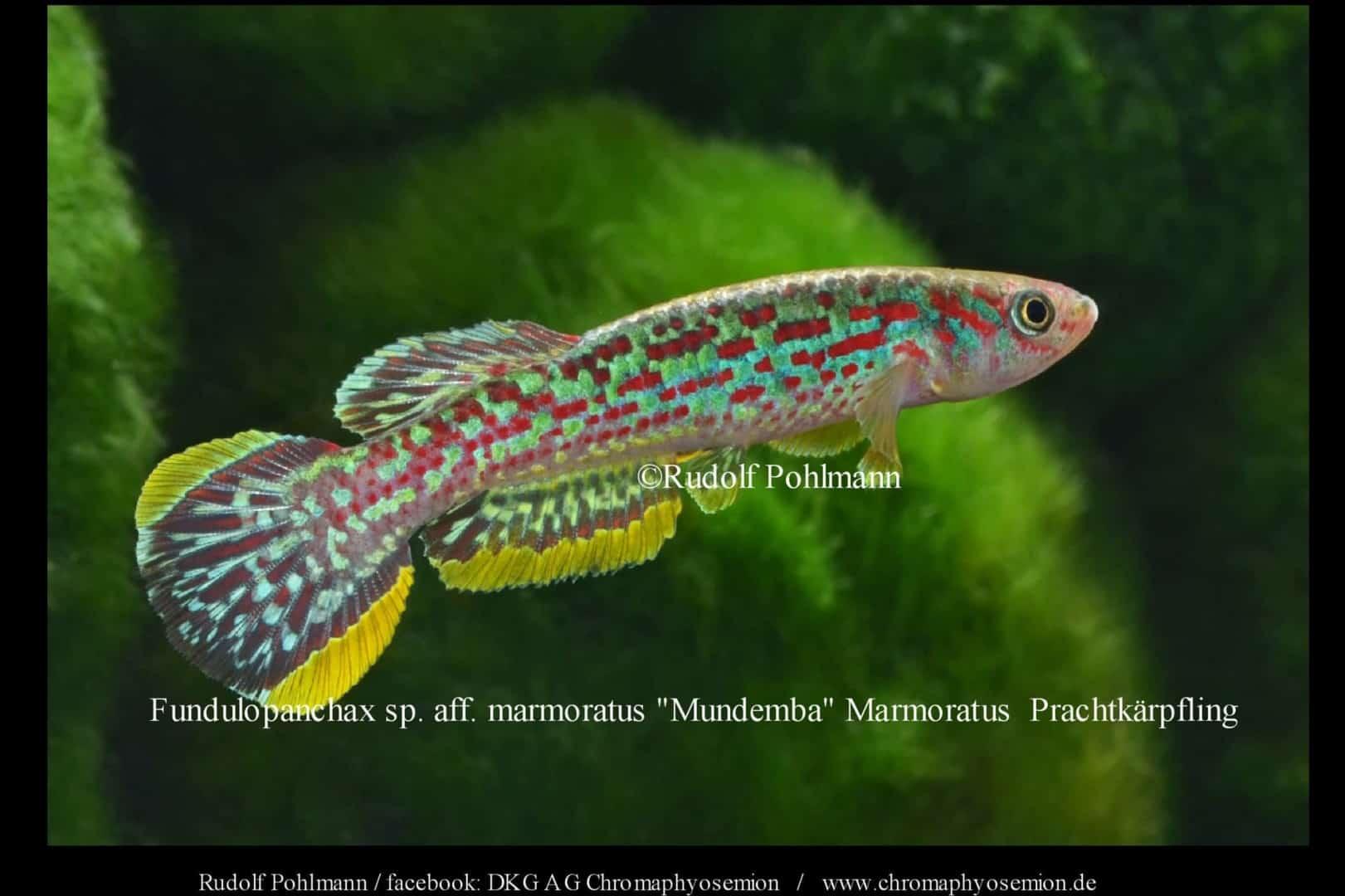 Fundulopanchax marmoratus – Marmoratus Prachtkärpfling 5