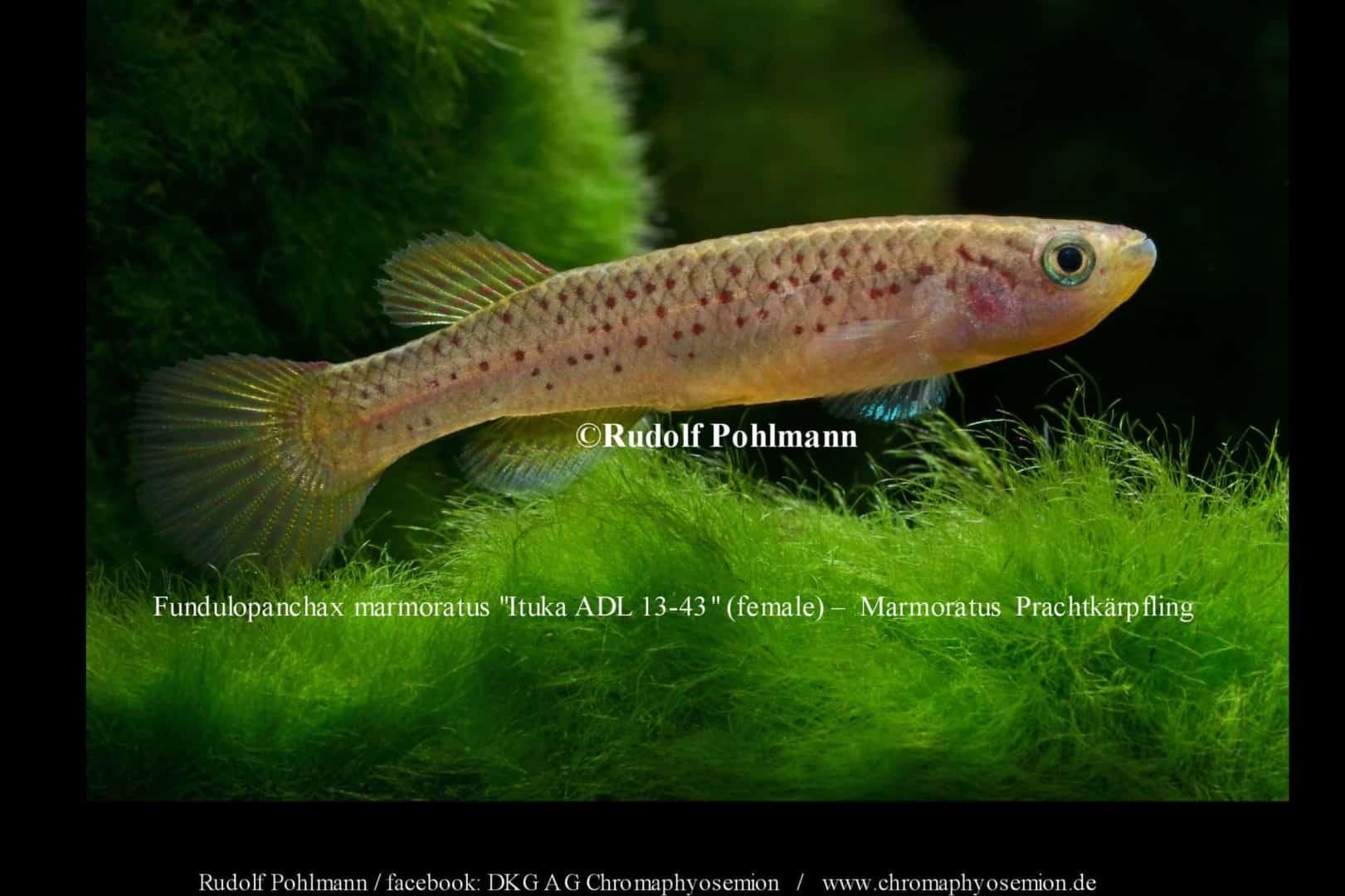 Fundulopanchax marmoratus – Marmoratus Prachtkärpfling 1