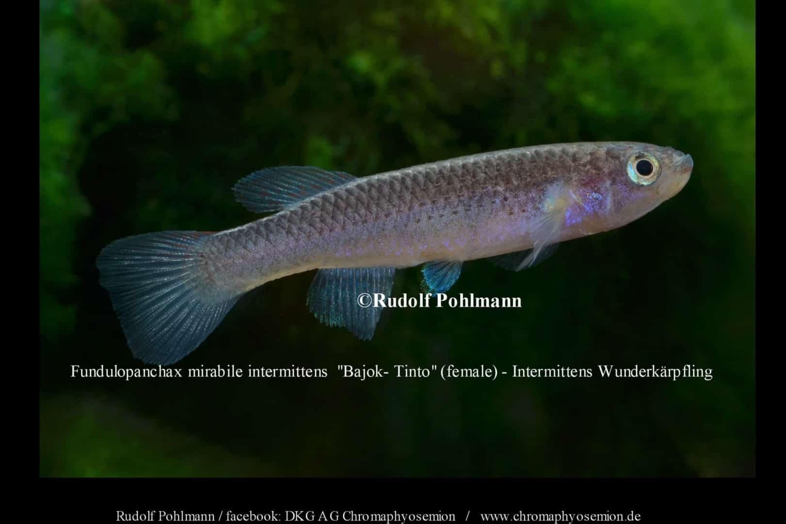 Fundulopanchax mirabile intermittens – Intermittens Wunderkärpfling 1
