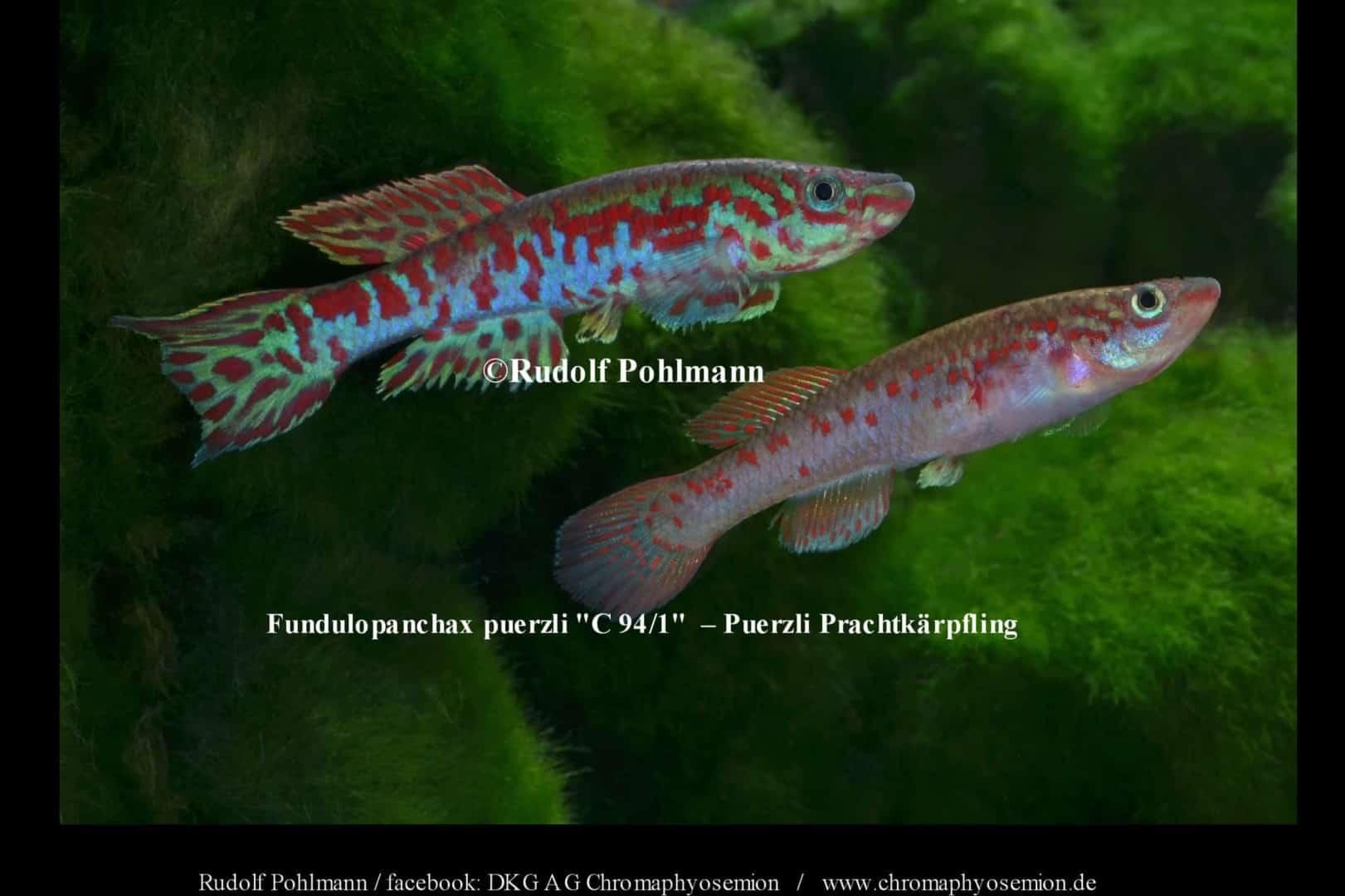 Fundulopanchax puerzli – Puerzli Prachtkärpfling 1