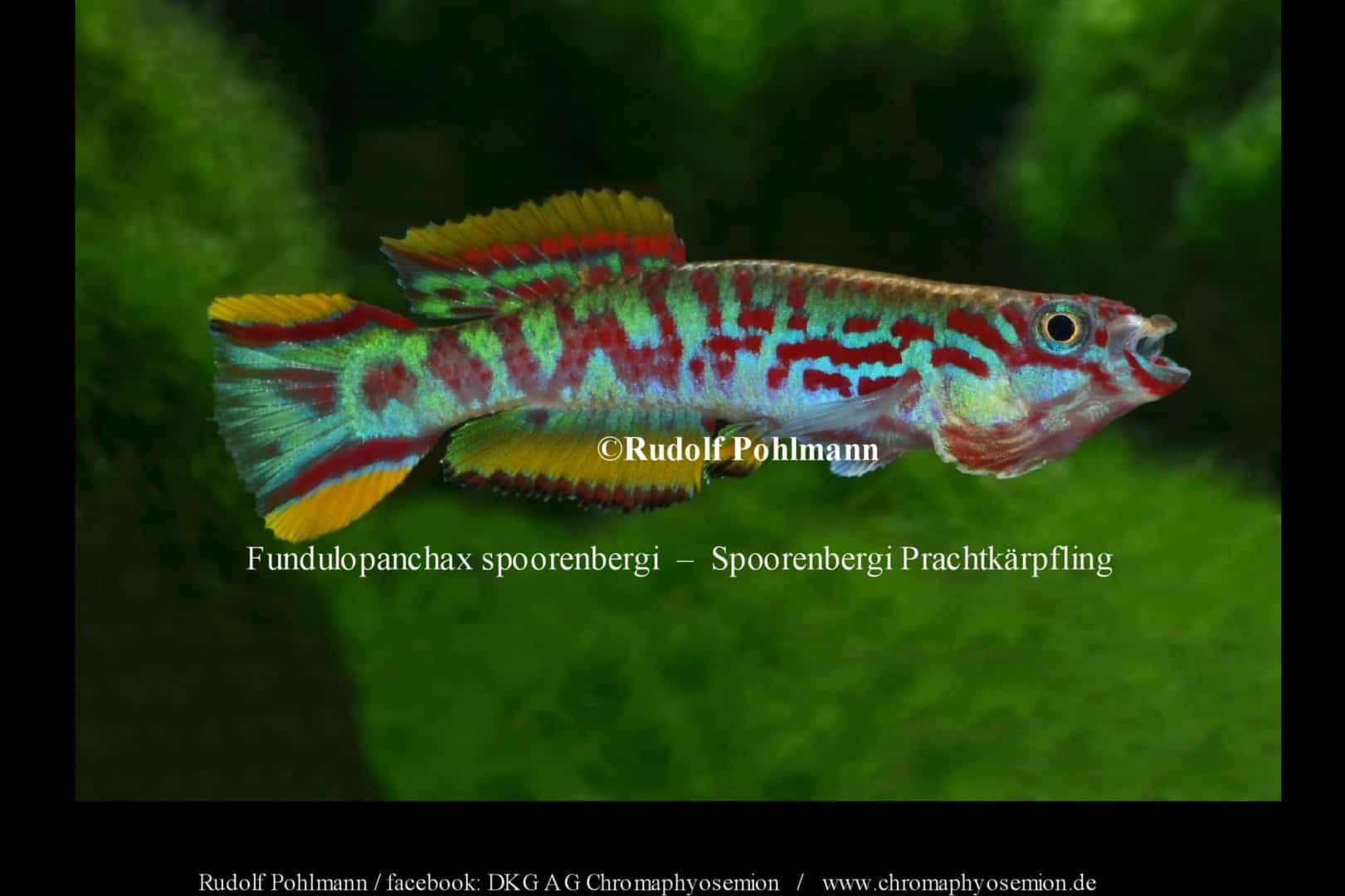 Fundulopanchax spoorenbergi – Spoorenbergi Prachtkärpfling 1