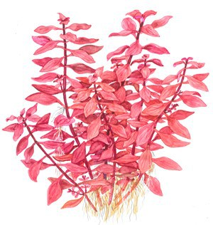 Ludwigia palustris 2