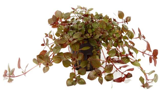 Ludwigia palustris 1