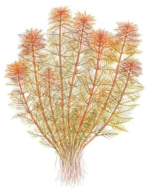 Myriophyllum tuberculatum 1