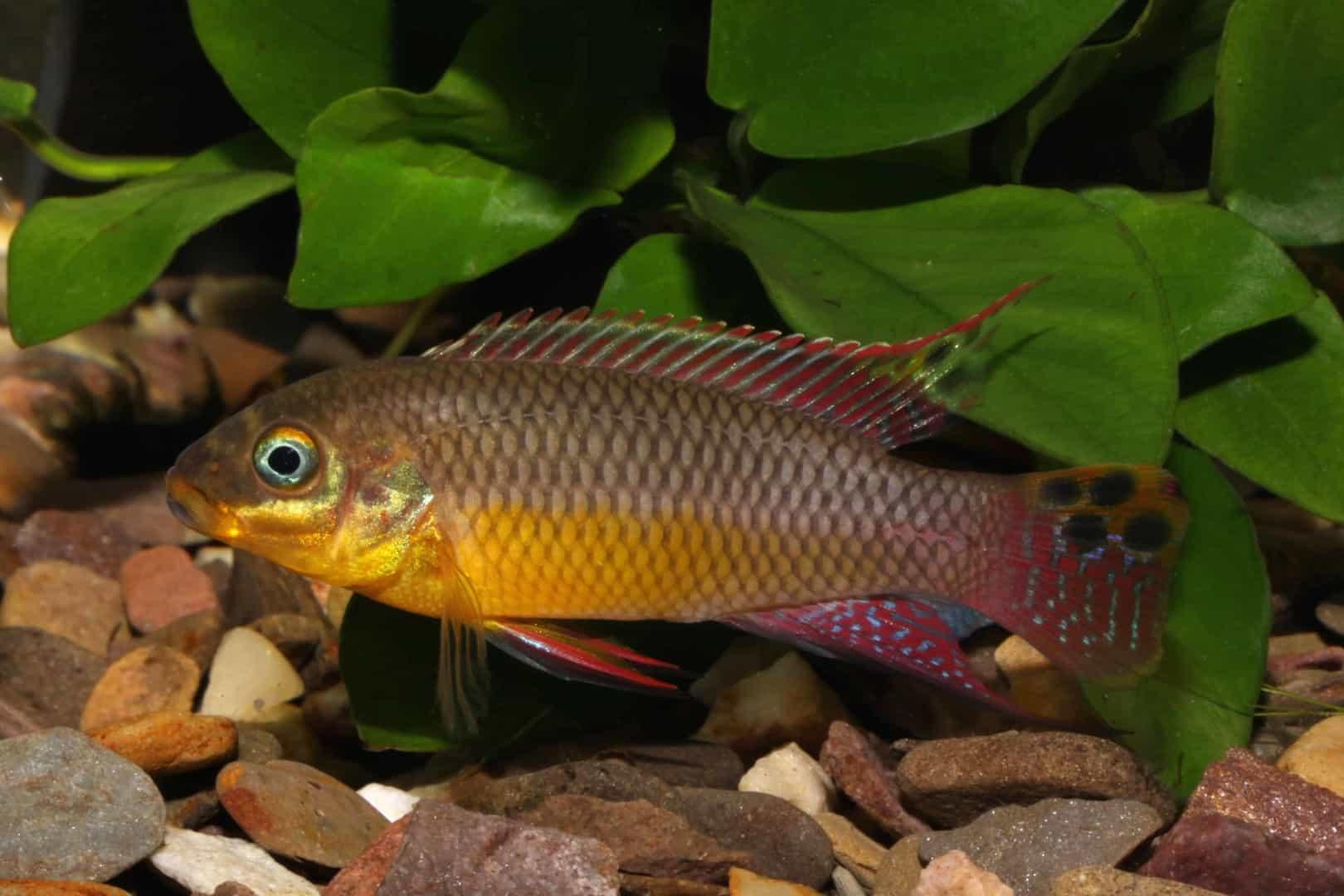 Pelvicachromis taeniatus Bipindi 16