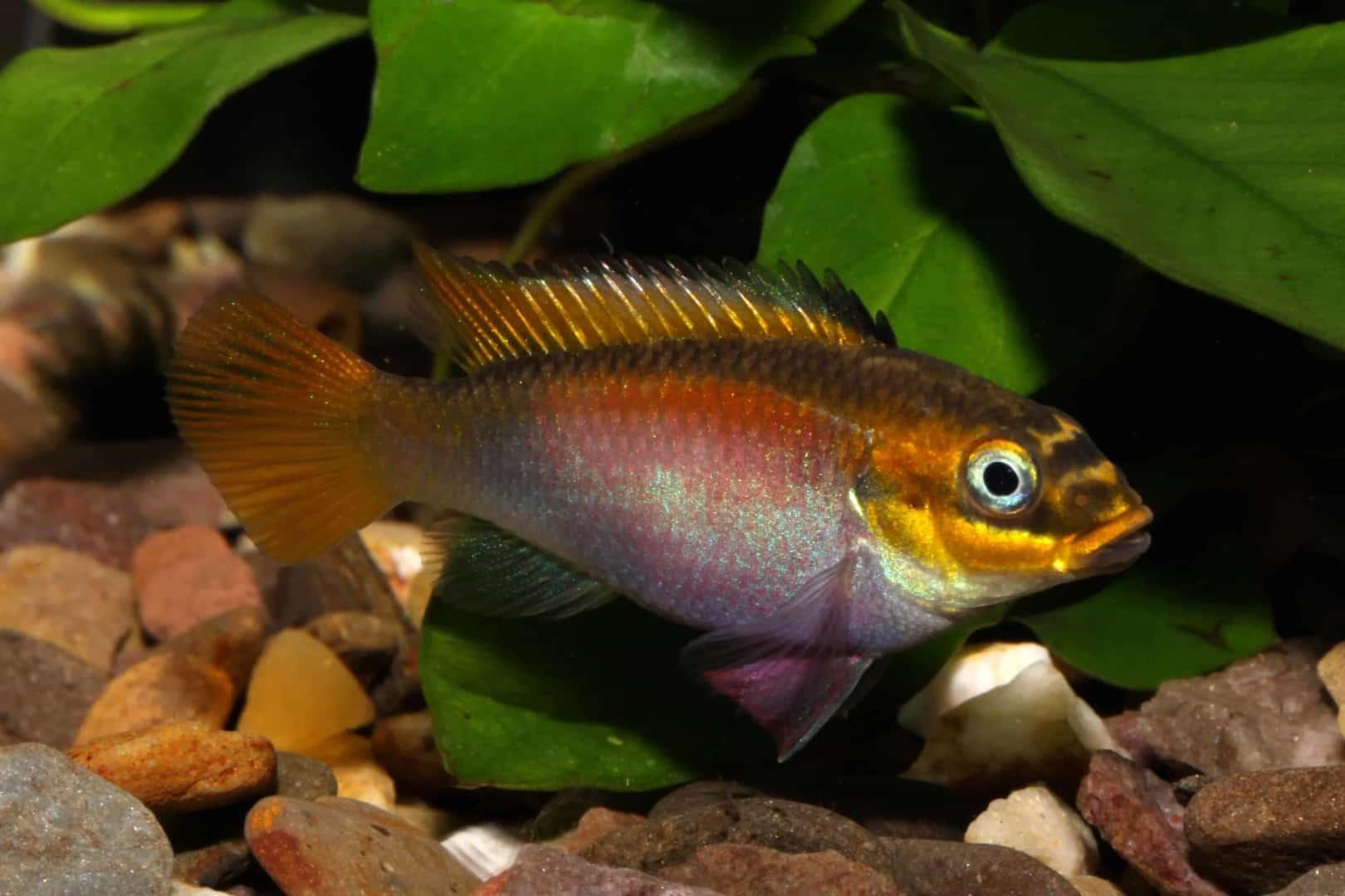 Pelvicachromis taeniatus Bipindi 17