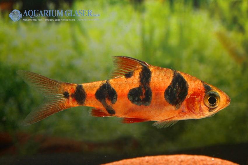 Barbus rhomboocellatus 1