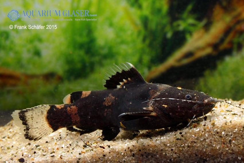 Batrochoglanis raninus - Breitmaul-Hummelwels 2