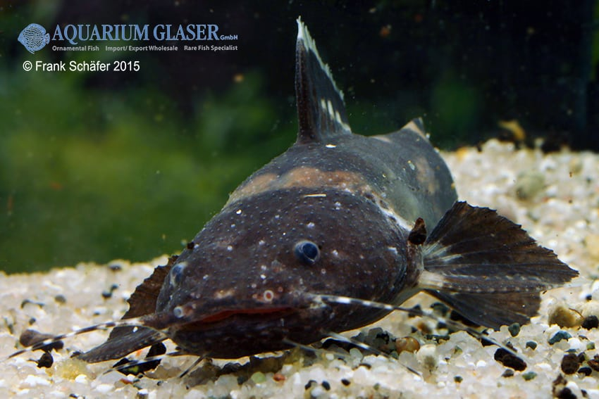 Batrochoglanis raninus - Breitmaul-Hummelwels 3