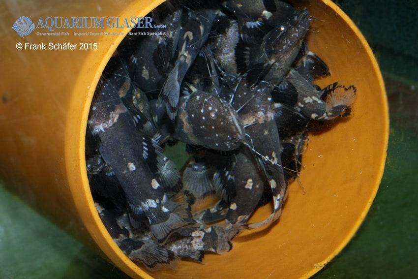 Batrochoglanis raninus - Breitmaul-Hummelwels 4