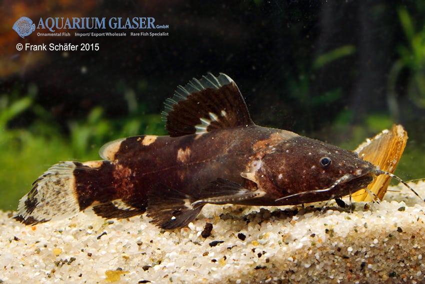 Batrochoglanis raninus - Breitmaul-Hummelwels 5