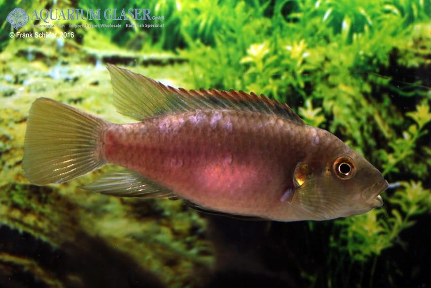 Benitochromis riomuniensis - Goldkehlchen-Prachtbarsch 5