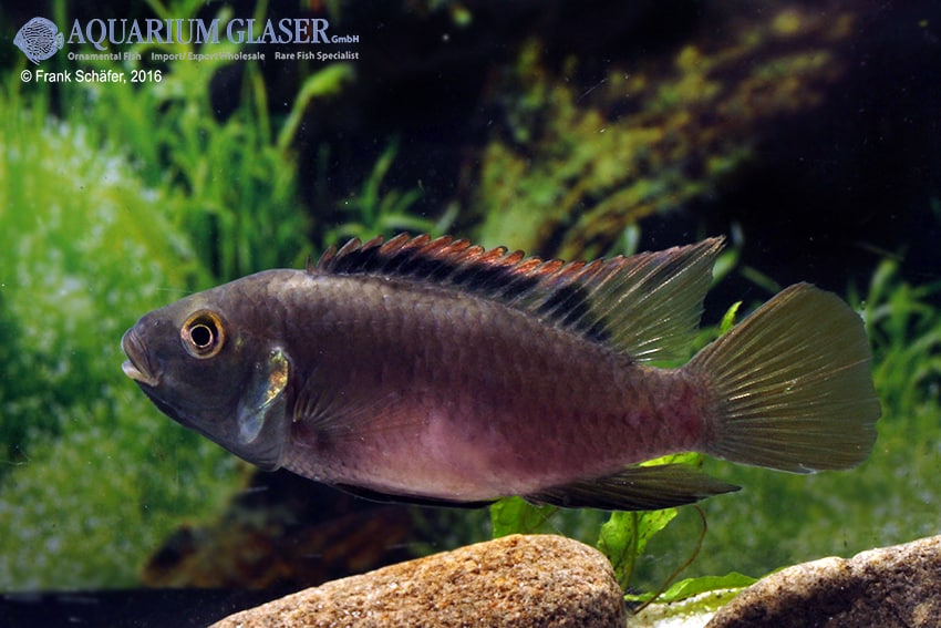 Benitochromis riomuniensis - Goldkehlchen-Prachtbarsch 6
