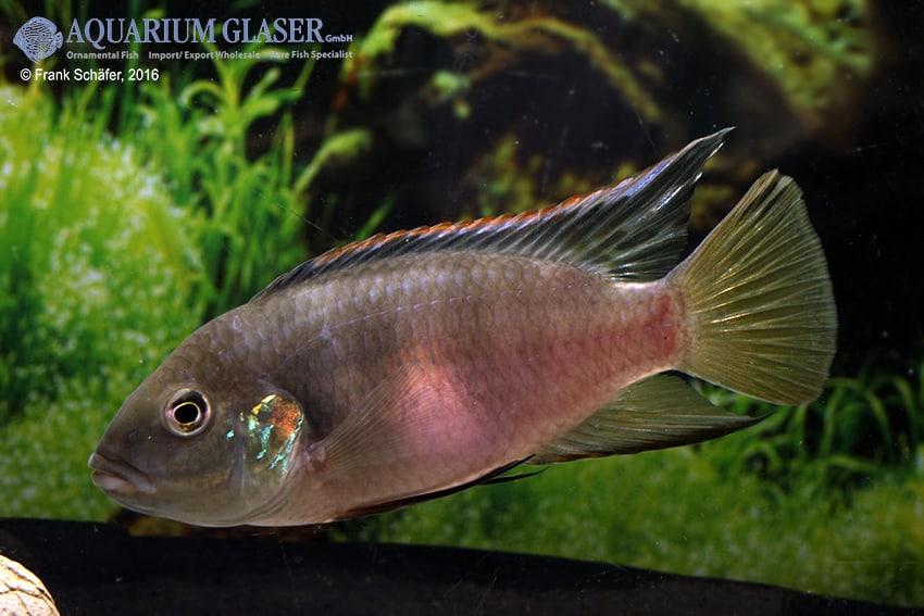 Benitochromis riomuniensis - Goldkehlchen-Prachtbarsch 7
