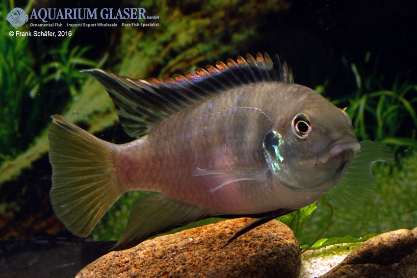 Benitochromis riomuniensis - Goldkehlchen-Prachtbarsch 8