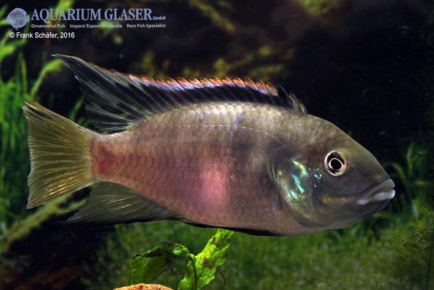 Benitochromis riomuniensis - Goldkehlchen-Prachtbarsch 9