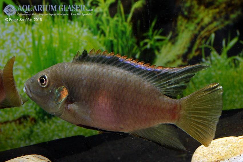 Benitochromis riomuniensis - Goldkehlchen-Prachtbarsch 10