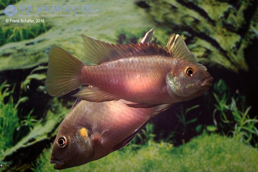 Benitochromis riomuniensis - Goldkehlchen-Prachtbarsch 11