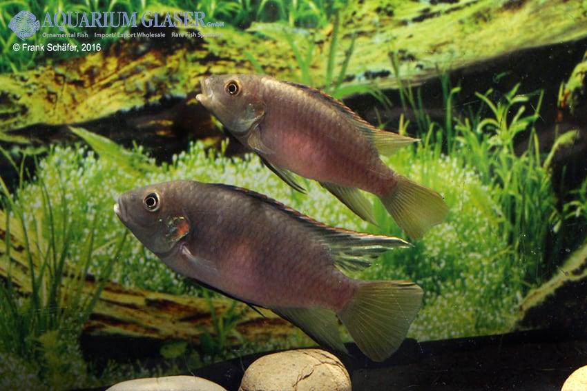 Benitochromis riomuniensis - Goldkehlchen-Prachtbarsch 12