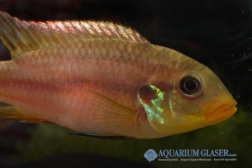 Benitochromis riomuniensis - Goldkehlchen-Prachtbarsch 4