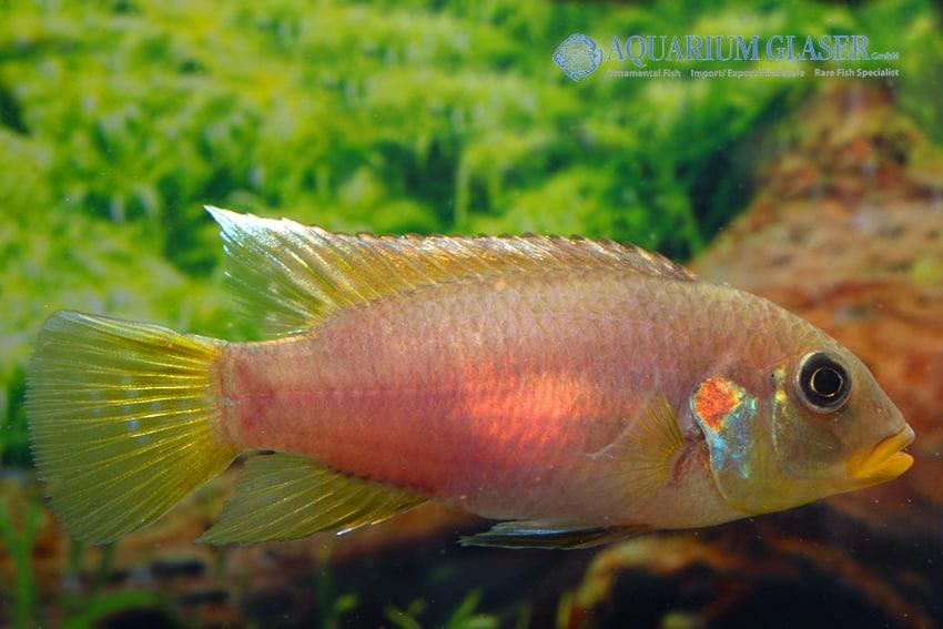 Benitochromis riomuniensis - Goldkehlchen-Prachtbarsch 3