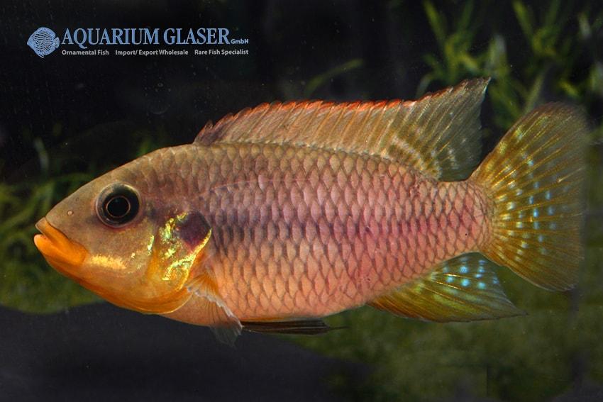 Benitochromis riomuniensis - Goldkehlchen-Prachtbarsch 2