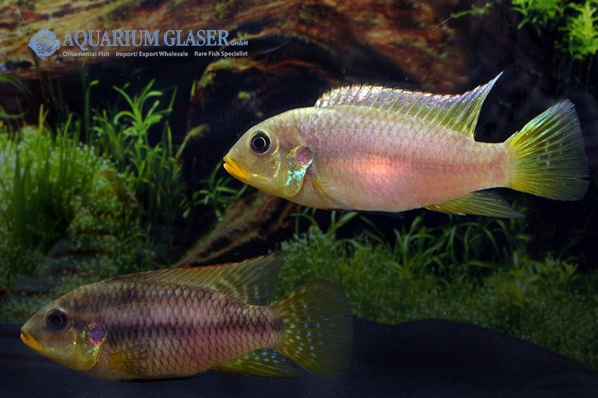 Benitochromis riomuniensis - Goldkehlchen-Prachtbarsch 1