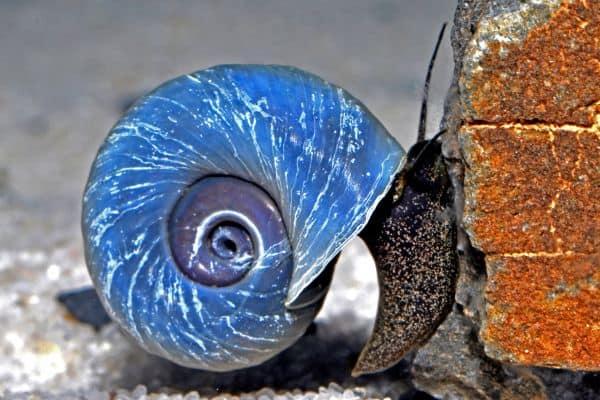 Putzkolonne im Aquarium - Die kleinen Helfer bei der Algenbeseitigung 1