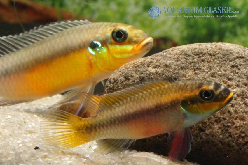 Pelvicachromis taeniatus Bipindi 2