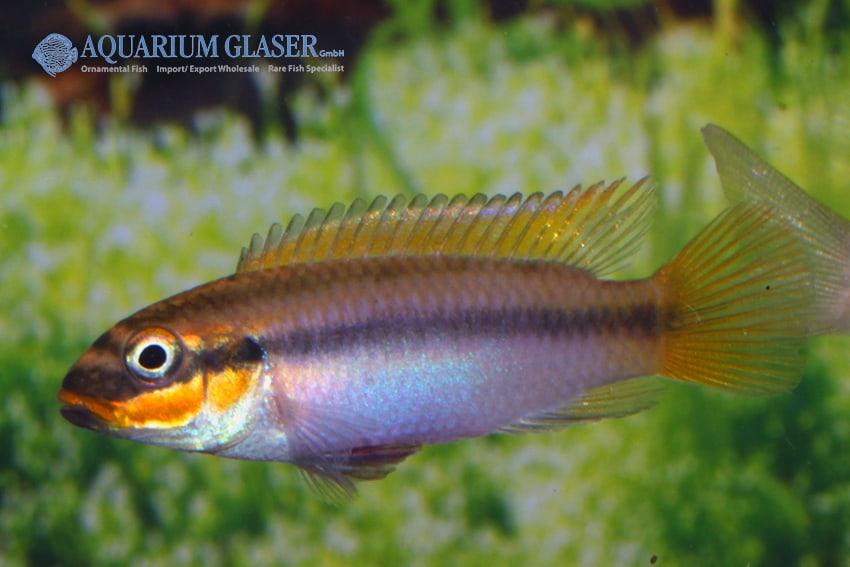 Pelvicachromis taeniatus Bipindi 6